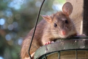 Rat Infestation, Pest Control in Watford, Cassiobury, WD17. Call Now 020 8166 9746